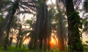 palm plantation in Ecuador