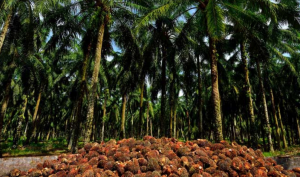 The Future of Palm Oil